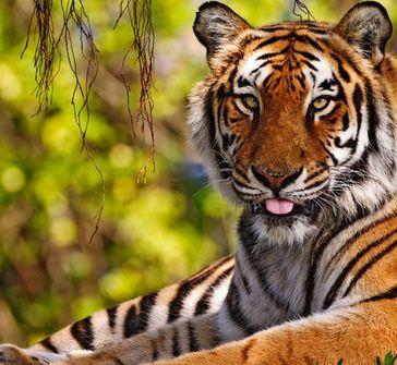 老虎会不会冬眠
