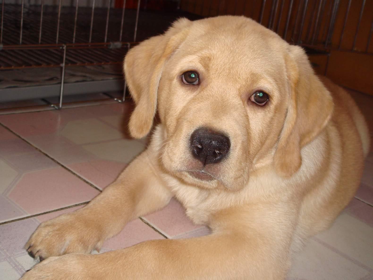 B、成犬:纯狗粮喂养的成犬一般也无需补钙,因为这时期犬只的骨骼及其他器官的生长发育已基本停止,所以对钙质的需求不大,一般在狗粮中就可以得到满足。 C、孕犬:妊娠犬要注意补钙问题,可以恢复到幼犬时期的补钙剂量,并应当保持适当的运动。购买孕犬狗粮就是很好的选择。 生产10天后的狗妈妈容易发生缺钙,因为乳汁分泌的增加会加快其体内钙质的流失,血钙浓度过低会引起急性产后缺钙,严重的会造成肌无力、昏迷甚至死亡。出现这情况要马上送其去医院静脉补钙,同时给幼崽部分人工喂奶,减轻狗妈妈缺钙的负担。 D、老年犬:随着年龄的